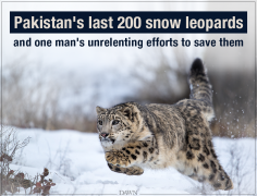 Pakistan's last 200 snow leopards